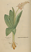 Orchid 16th century, watercolor, hand painted woodcutting botanical print from Leonhart Fuchs book of herbs: De Historia Stirpium Commentarii Insignes Published in Basel in 1542 The original manuscript this image is taken from shows signs of water damage