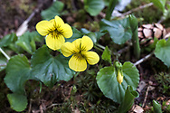 A pair of Stream Violet (Viola gabella) flowers in Golden Ears Park. The Stream Violet (also called the Yellow Wood Violet or Pioneer Violet) tends to grow along streams or in moist woodlands.  These were growing along the trail near Gold Creek in Maple Ridge, British Columbia, Canada