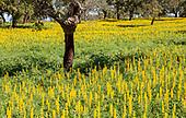 Lupine Albus, lupin plants
