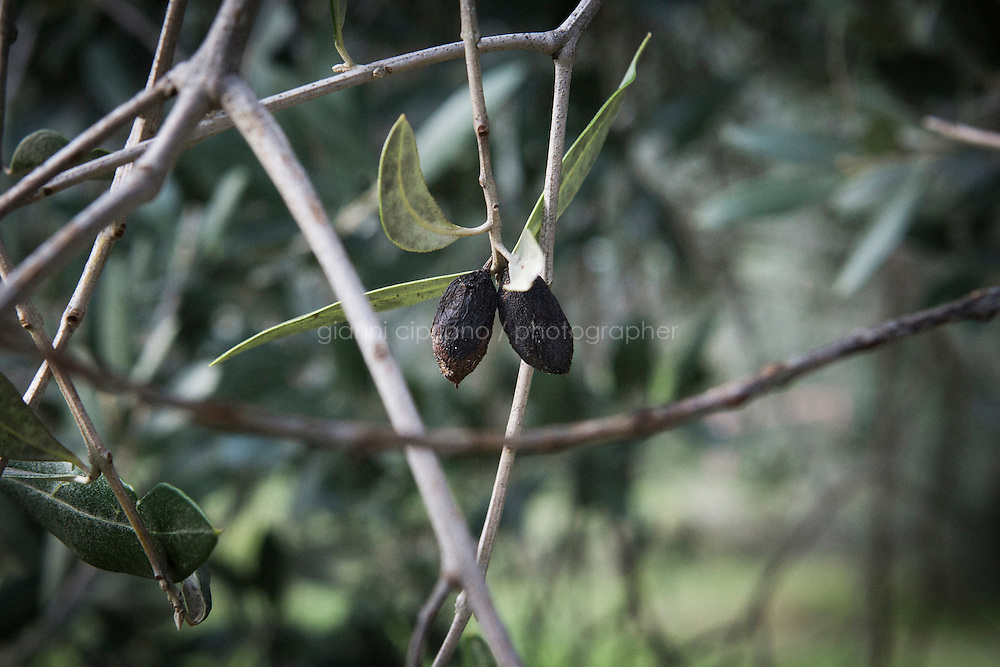 CALENZANO, ITALY - 24 NOVEMBER 2014: Withered olives with holes caused by the Bactrocera oleae, an olive fruit fly that this year ravaged his crop, are left an olive tree in Federico Dufour's property in Calenzano, 20 kilometers north of Florence, Italy, on November 24th 2014.<br /> <br /> The olive harvest was practically non-existent this fall in Calenzano because of the Bactrocera oleae, an olive fruit fly that this year ravaged entire olive crops. Italy&rsquo;s Institute of Services for Agriculture and Food Market, or ISMEA, calculated that olive oil production fell on average by 35 percent from 302,000 tons from 463,000 the previous year.
