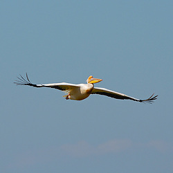 Pelican captured during the flight.