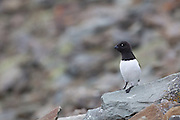 Little Auk perched on rock, Svalbard