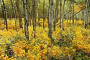 Autumn in aspen forest<br /> <br /> Elk Island National Park<br /> Alberta<br /> Canada