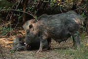 Indian boar (Sus scrofa cristatus)<br /> Bharatpur National Park <br /> Rajasthan, India<br /> Subspecies native to India, Nepal, Burma, Thailand and Sri Lanka