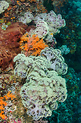 Soft Coral (Dendronephthya sp)<br /> Raja Ampat<br /> West Papua<br /> Indonesia