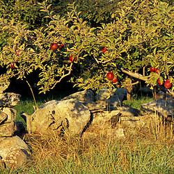 Bolton, MA.  USA.  Apples grow next to a stone wall on the Schartner Farm in Massachusetts' Nashoba Valley.  Apple orchard.
