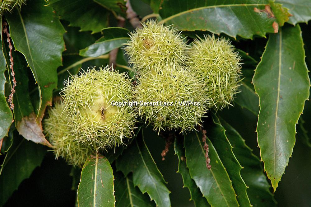 Chestnut Bur, castanea sativa, on Chestnut Tree Branch