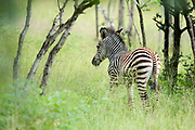 "A very young zebra in the abundant ""emerald season"" in the South Luangwa valley, Zambia. *50% of the proceeds from this image will go to Conservation  the South Luangwa , which plays a huge role in the conservation of wildlife and community development in the Luangwa valley. Thanks for your support!"