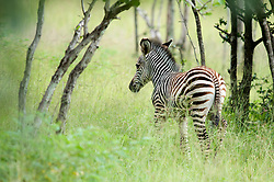 "A very young zebra in the abundant ""emerald season"" in the South Luangwa valley, Zambia. *50% of the proceeds from this image will go to the South Luangwa Conservation Society, started by Rachel McRobb when she was a food server at a safari camp. It now plays a huge role in the conservation of wildlife and community development in the Luangwa valley. Thanks for your support!"