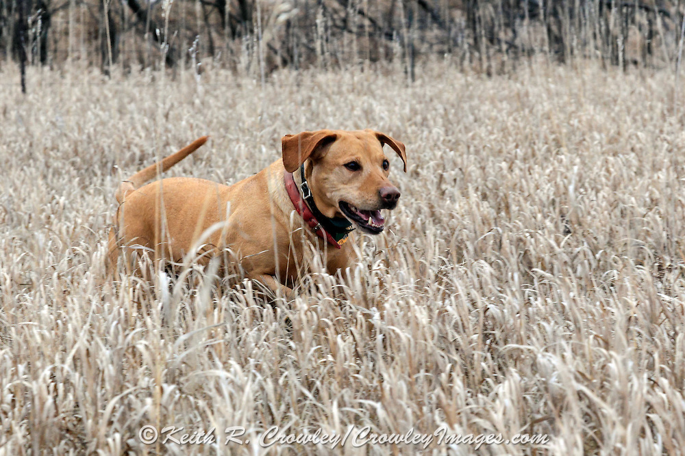Pheasant Hunters and Dogs in South Dakota