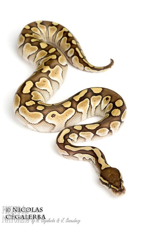 Python regius forme lesser platinum