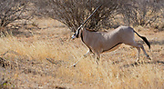 East African Oryx (Oryx beisa) running in Samburu National Reserve, Kenya.