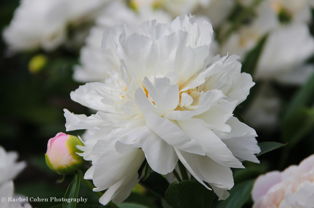 &quot;Peonies in White&quot;<br />
