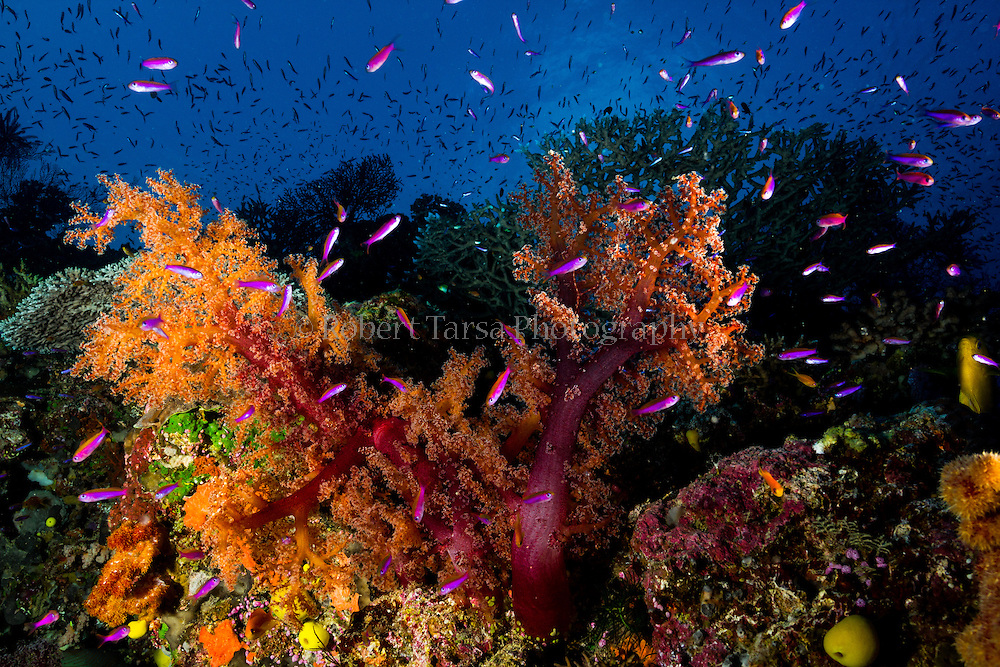 Inflated soft coral tree feeding in water current.