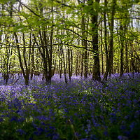 Blue flowers in woodland during springtime