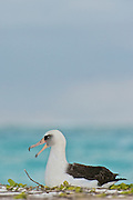 laysan albatross calls out while sitting on a sandy beach