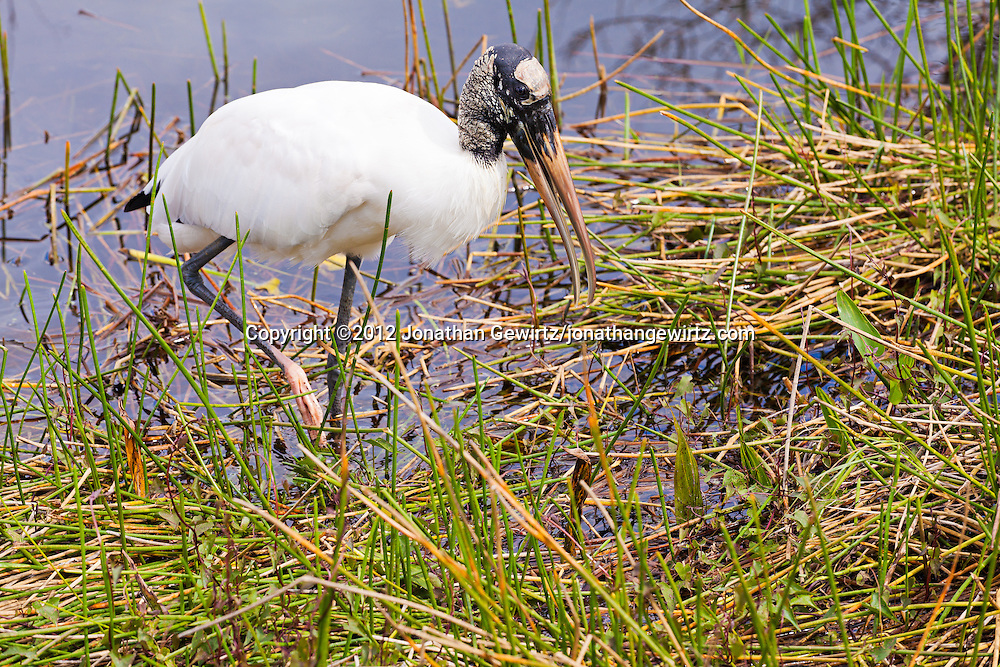 A Wood Stork (Mycteria americana) forages along a canal near the Anhinga Trail in Everglades National Park, Florida. WATERMARKS WILL NOT APPEAR ON PRINTS OR LICENSED IMAGES.