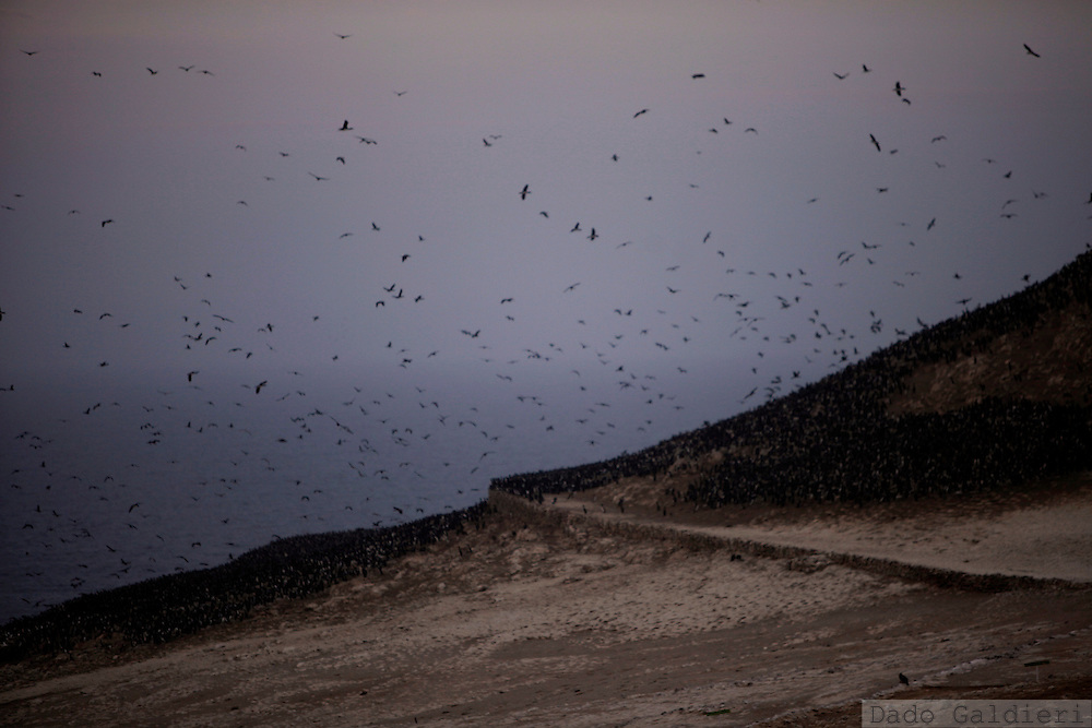 Tens of thousands of guanay birds fly over their nests on an isolated part of  Ballestas island in Peru, Oct. 10, 2011. Along the dry and magnificent Peruvian Pacific coast, 22 scattered islands are home to millions of migratory birds such as guanays, boobies and pelicans..Nesting in these  island for millennia their excreta has been used by ancient civilizations to fertilize Andean crops and sustain evolved societies. Now, being one of the finest organic fertilizers in the world they move an economy of around 10 billion dollars, considering the average price of 500 USD a ton, according to  Rural Agrarian Productive Development Program (Agrorural) .The bird dung, also known as guano, reached its greatest economic importance in the 19th century as a coveted resource being exported to the United States, England and France..But now  the country, being led by a leftist president, hopes to benefit mostly small farmers by boosting organic agriculture through these natural fertilizers.. (Photo Dado Galdieri)