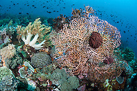 Basket Stars coiled tightly on a Sea Fan during the day.  At night, they spread their arms widely to feed.<br /> <br /> Shot in Indonesia