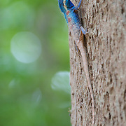 Male Blue Crested Lizard, Calotes mystaceus, in Ratachaburi, Thailand.