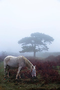 a pony grazing in the morning mist
