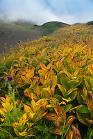 Fall; False Hellebore, Mt. Baker Wilderness Area; Pacific NW; WA; Wilderness