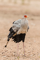 Secretary Bird, Kgalagadi Transfrontier Park, Northern Cape, South Africa