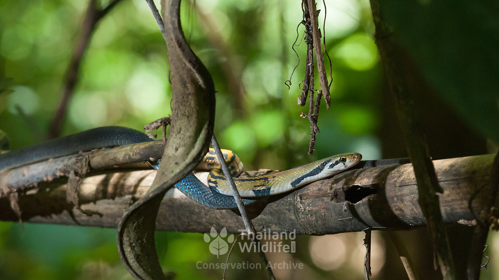 Yellow-striped Racer (Coelognathus flavolineatus) in situ in Kaeng Krachan national park, Thailand