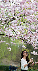 © Licensed to London News Pictures. 19/03/2014. London, UK. A girl looks at the cherry blossom. People enjoy the sunshine at Regents Park today 19th March 2014. Photo credit : Stephen Simpson/LNP
