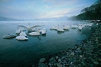 Whooper swans (Cygnus cygnus) stir in the early morning light.