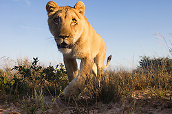 A female lioness walking toward remote camera, wide angle, (Panthera leo), Kalahari, Botswana Africa