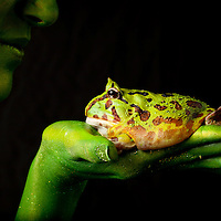 First Place FotoWeek DC 2012, Natural World Portfolio. Metamorphosis. Pac man frog on hand