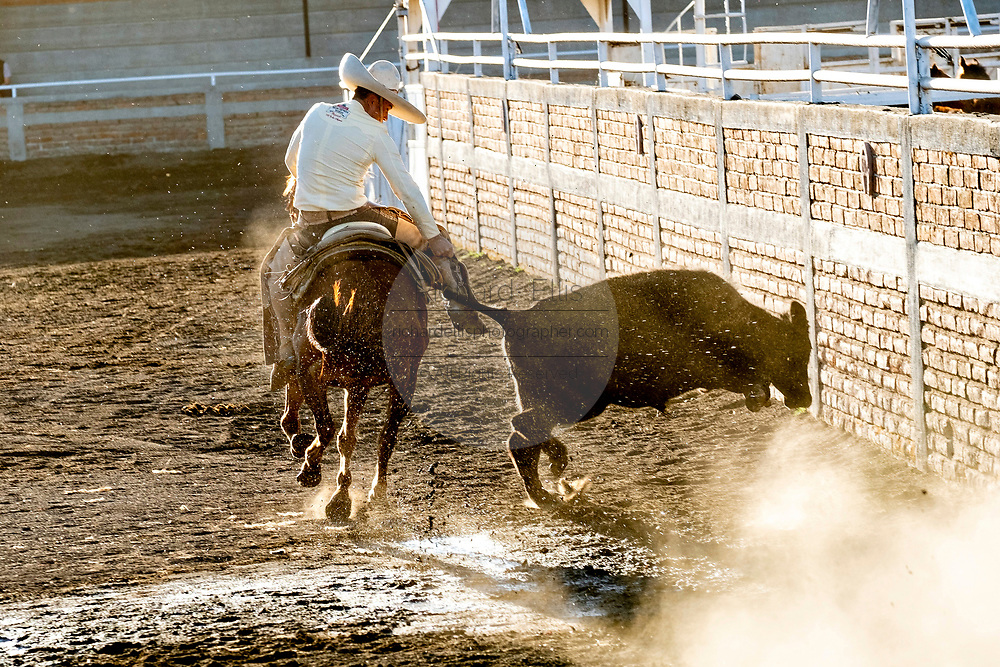 Juan Franco grabs the tail of a steer during the Colas en el Lienzo event at the family Charreria practice session in the Jalisco Highlands town of Capilla de Guadalupe, Mexico. Colas en el Lienzo or Steer Tailing is similar to bull dogging except that the rider does not dismount; the charro rides alongside the left side of the bull, wraps its tail around his right leg, and tries to bring the bull down in a roll as he rides past it.