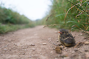 A blackbird chick resting after narrowly avoiding being eaten by a kestrel.