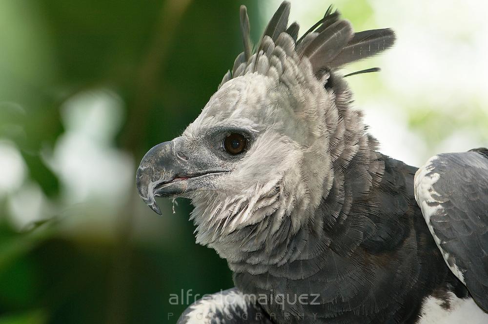 Harpy Eagle claws (Harpia harpyia) Soberania National Park,Rep.of Panamá, Central America. 2005.(Captive animal)