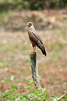 Savanna Hawk (Buteogallus meridionalis) perched on fence post, The Pantanal, Mato Grosso, Brazil Photo by: Peter Llewellyn