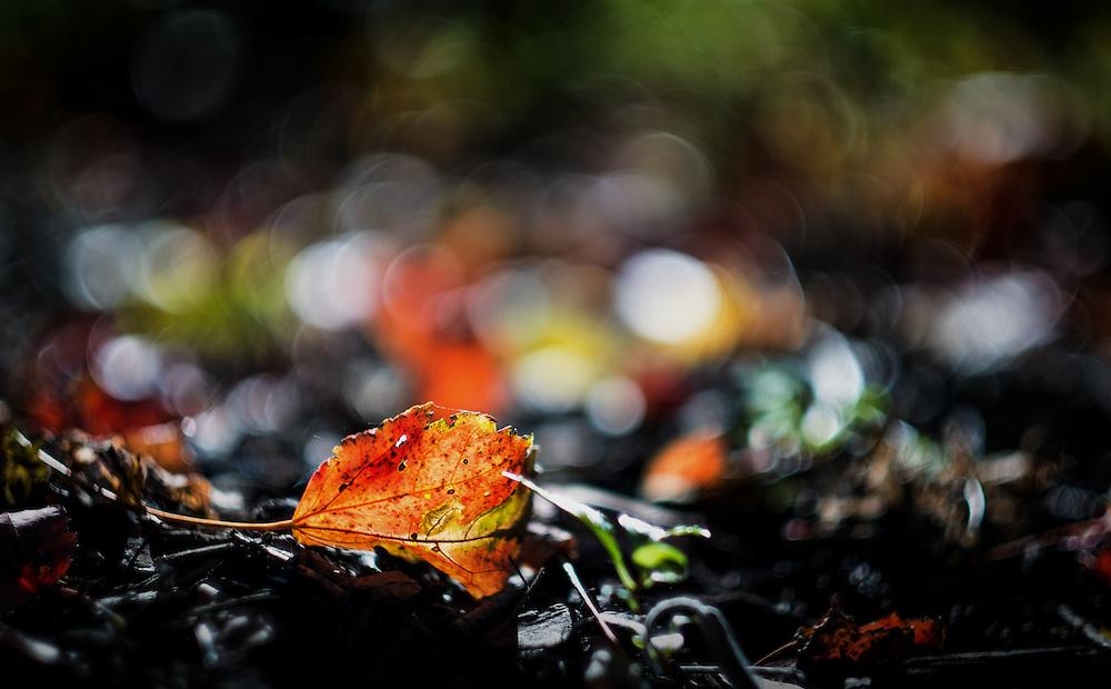 Fall leaf in afternoon sun in Oella, Maryland.