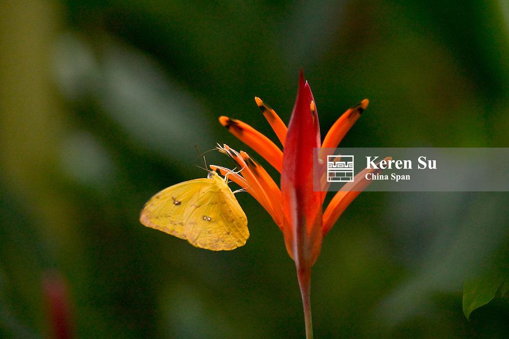 Cloudless Sulphur (Phoebis sennae), Panama