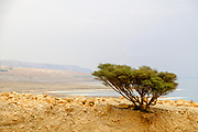 Lone Acacia Tree in an arid desert. Photographed in The Dead Sea, Israel