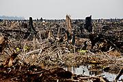 Rengat, Riau, IDN, September 15th 2007:   The rain forest in Sumatra is disappearing fast. In Riau the forest is moved down, torched and replaced with palm trees to make palm oil.<br /> SER DU MANNEN? En mann rusler bortover i det som en gang var en skog. 8000 hektar tropisk skog ble først hugget ned og så brent her ved landsbyen Kuala Cenaku på Sumatra. Nå gjøres det klart for en palmeoljeplantasje. Restene av skogen kan skimtes i det fjerne.