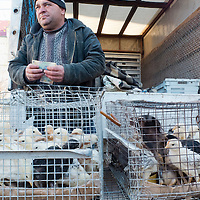 TIMISOARA, ROMANIA - APRIL 21:  A market seller of live chickens counts the money of a sale at a daily market on April 21, 2013 in Timisoara, Romania.  Romania has abandoned a target deadline of 2015 to switch to the single European currency and will now submit to the European Commission a programme on progress towards the adoption of the Euro, which for the first time will not have a target date. (Photo by Marco Secchi/Getty Images)