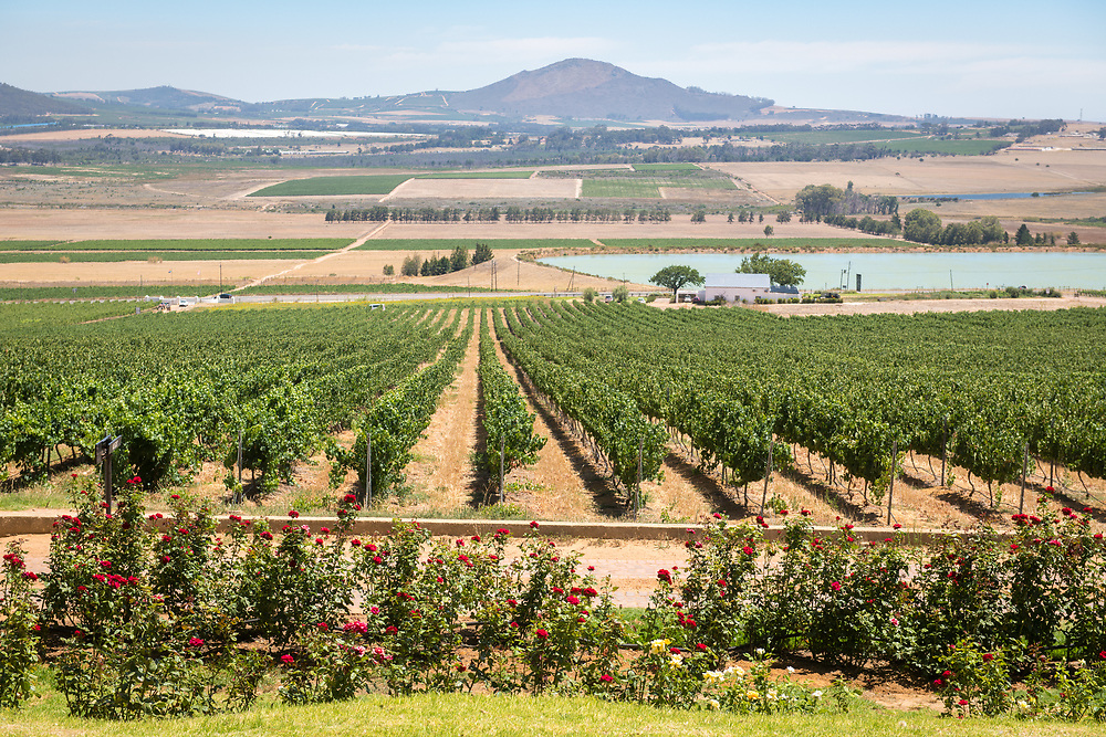 Rows of grapevines at expansive vineyard located in the slops of Paarl Mountains, Cape Town, South Africa