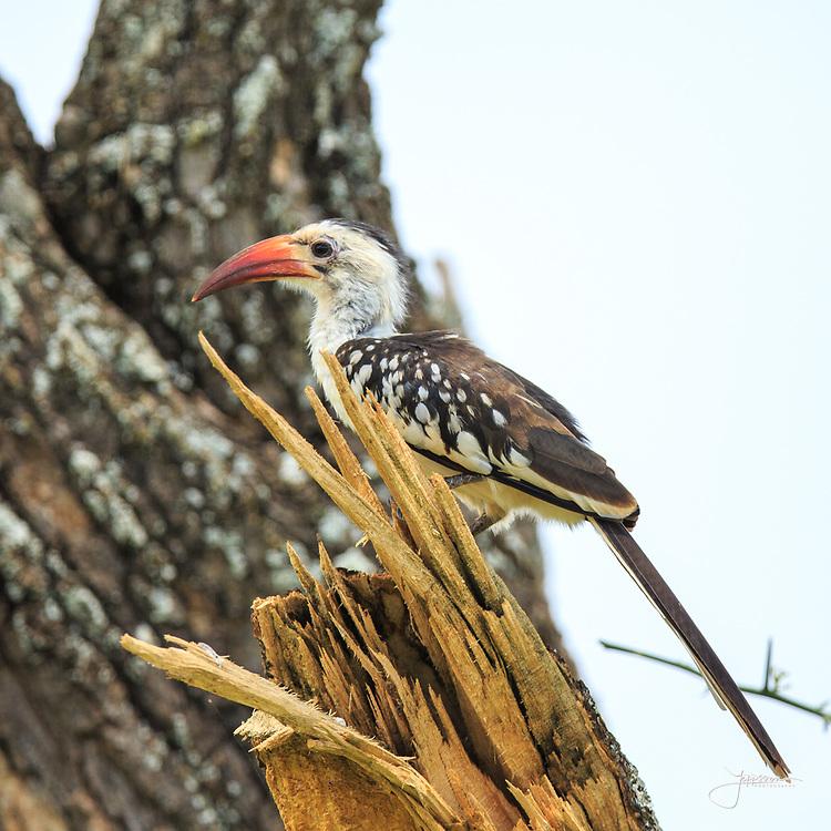 Red-billed Hornbill (Nordlig Rödnäbbad Toko), Tockus Erythrorhynchus, male, Tarangire