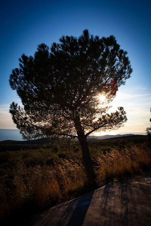 Pine tree silhouettted by the November sunset, Parc Natural del Garraf, Catalonia, Spain.