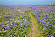 Footpath through field of bluebell wildflowers, Skomer Island, Pembrokeshire Coast national park, Wales, UK
