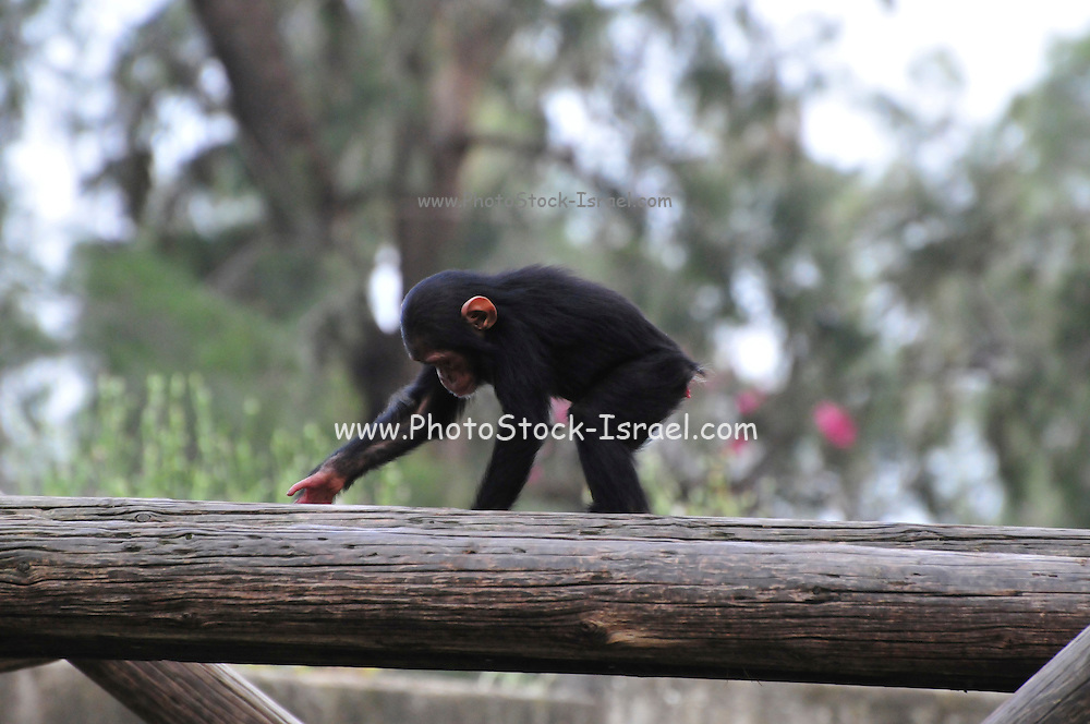 Chimpanzee (Pan troglodytes) in captivity young newborn specimen