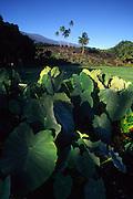 Taro, Hana Coast, Maui, Hawaii<br />