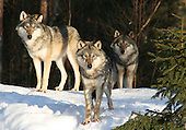 Animals - Predators - Rovdyr