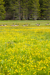 """""""Geese at Sagehen Meadows 3"""" - Photograph of a group of Canadian Geese walking among the Buttercup wildflowers in Sagehen Meadows."""