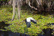 Endangered species Wood Stork, Mycteria americana, with wide wingspan in flight in swamp in the Florida Everglades, USA